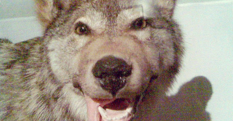 dogs_wolf