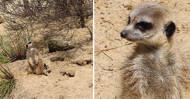 zoo_meerkats2_e