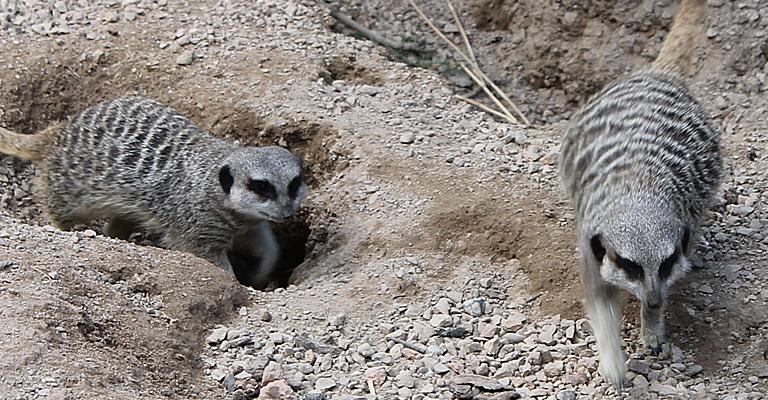 zoo_meerkats3_l