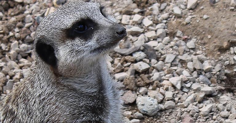zoo_meerkats4_l